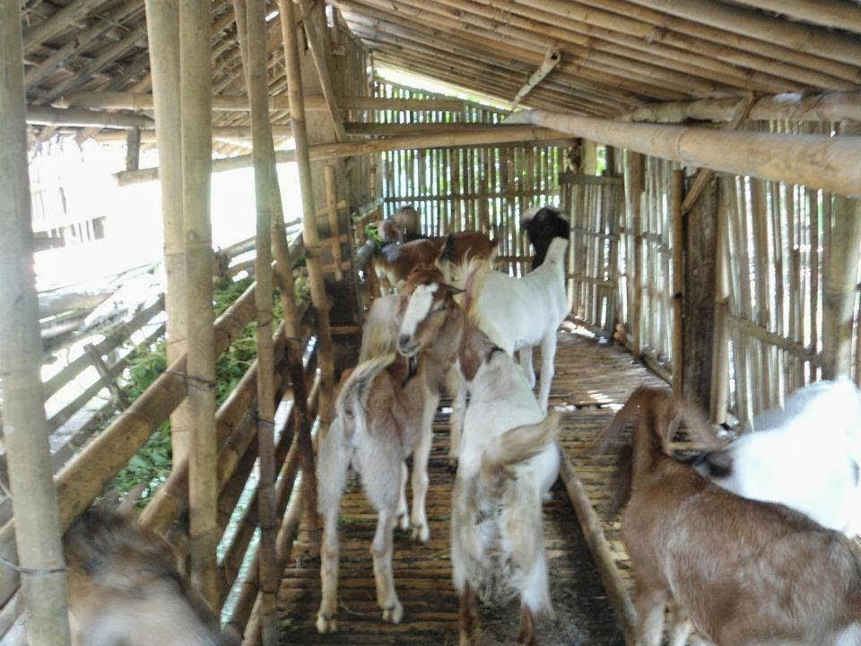 Budidaya Kambing Jawa